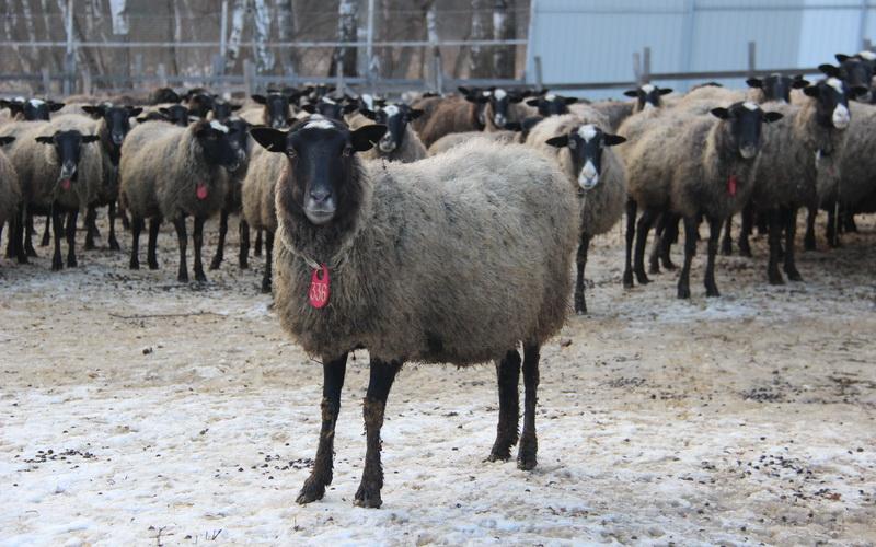 Продажа овец Романовской породы, овцы цены
